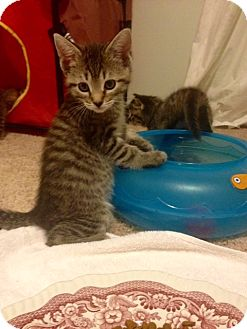 Domestic Mediumhair Kitten for adoption in Sterling Hgts, Michigan - Maddie  (a special girl)