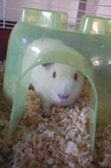 Adopt a Pet :: Zipper - Honolulu, HI -  Guinea Pig/Guinea Pig Mix