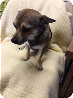 Chihuahua Mix Dog for adoption in Elk Grove, California - BUSTER