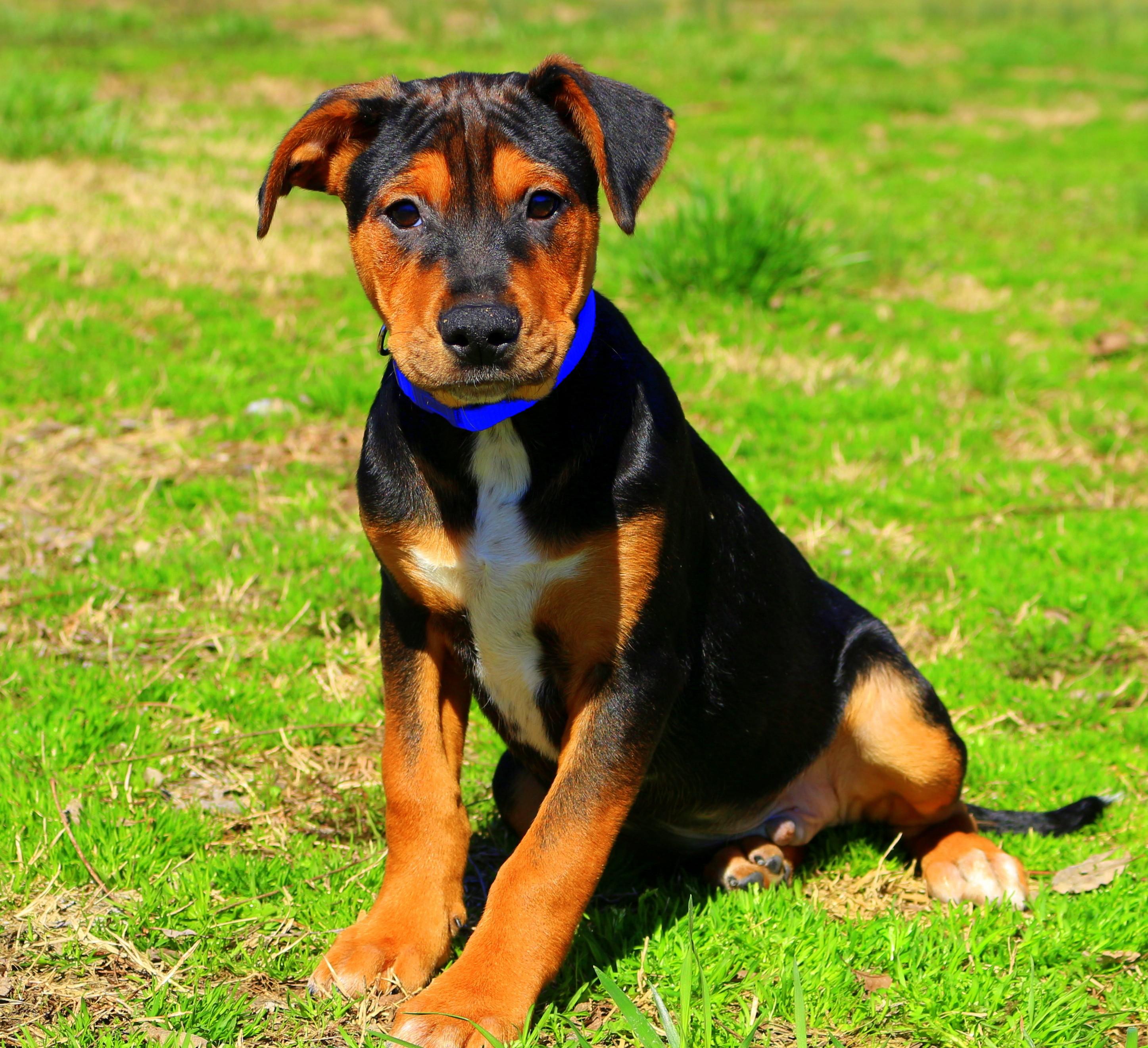 Southbury Ct Greater Swiss Mountain Dog Meet Blakey