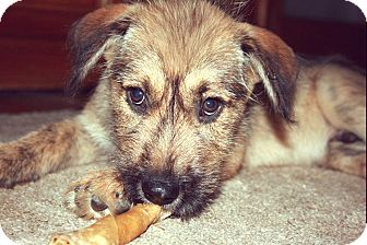Shepherd (Unknown Type) Mix Puppy for adoption in Graniteville, South Carolina - Hulk