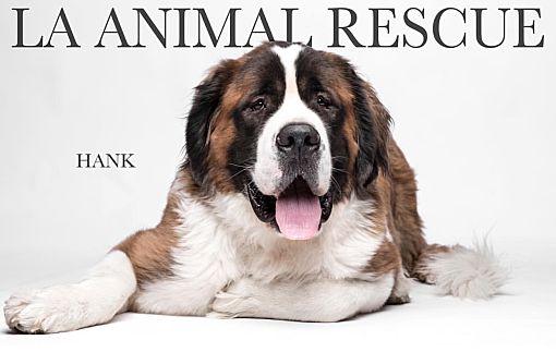 Los Angeles, CA - St  Bernard  Meet Hank a Pet for Adoption