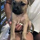 Adopt A Pet :: Butterbean's Borris