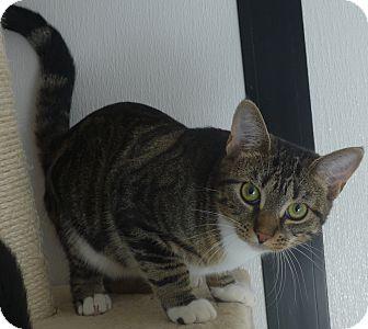 Domestic Mediumhair Kitten for adoption in Manning, South Carolina - Prissy