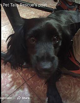 Adopt A Pet :: Princesa  - Northwood, NH