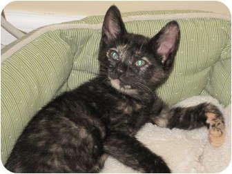 Domestic Shorthair Kitten for adoption in Charlotte, North Carolina - Lap kitten! Susannah