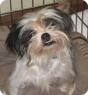 Tallahassee Fl Shih Tzu Meet Melanie Adopted A Pet For Adoption