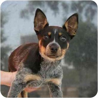 Denver Co Blue Heeler Meet Jasper A Pet For Adoption