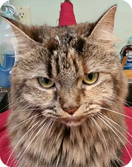 Maine Coon Cat for adoption in Spring Valley, New York - Dolly Parton