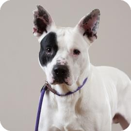 American Pit Bull Terrier Mix Dog for adoption in Kansas City, Missouri - Patch