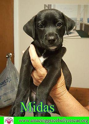 Pensacola, FL - Labrador Retriever  Meet Midas a Pet for