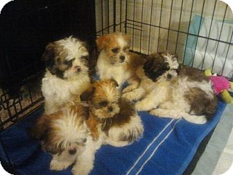 Ogden Ut Shih Tzu Meet Shih Tzu Puppies A Pet For Adoption