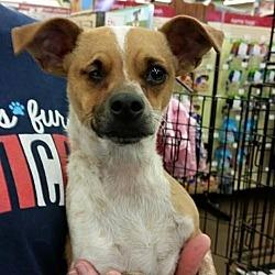 Puppies For Sale In Fresno California Adoptapet Com