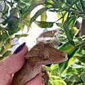 Adopt a Pet :: Calla - Indianapolis, IN -  Gecko