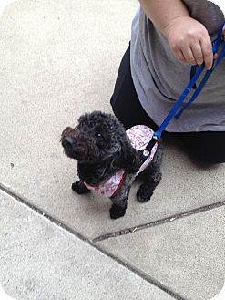 Ogden, UT - Bichon Frise  Meet Megatron a Pet for Adoption