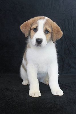 Wichita, KS - St  Bernard  Meet Willow a Pet for Adoption