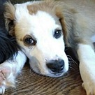 Adopt A Pet :: OH! Pup Ozzie