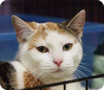 Calico Kitten for adoption in Ocean City, New Jersey - Isabelle