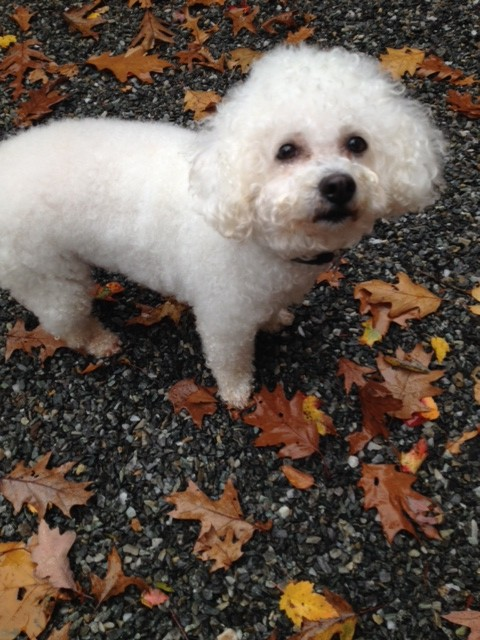 West Warwick, RI - Bichon Frise  Meet Lily a Pet for Adoption