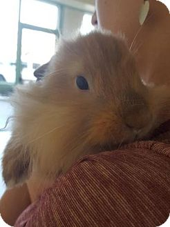 Lionhead Mix for adoption in Los Angeles, California - Darcy