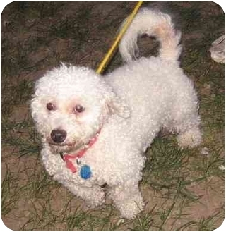 Kansas City Mo Bichon Frise Meet Ramzee A Pet For Adoption