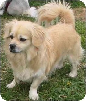 Manchester, PA - Pekingese  Meet Diana a Pet for Adoption