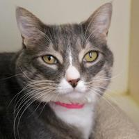 Domestic Shorthair/Domestic Shorthair Mix Cat for adoption in Wenatchee, Washington - Cotton