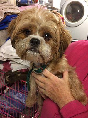 Kansas City Mo Shih Tzu Meet Tyson A Pet For Adoption