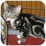 Photo 3 - Domestic Shorthair Kitten for adoption in Randolph, New Jersey - Button Nose