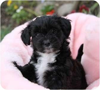 Newport Beach, CA - Bichon Frise  Meet JASMINE a Pet for