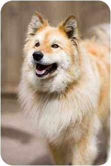 Portland Or Golden Retriever Meet Sheba A Pet For Adoption