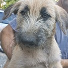 Adopt A Pet :: Kanti (Native American Tribe Puppies)