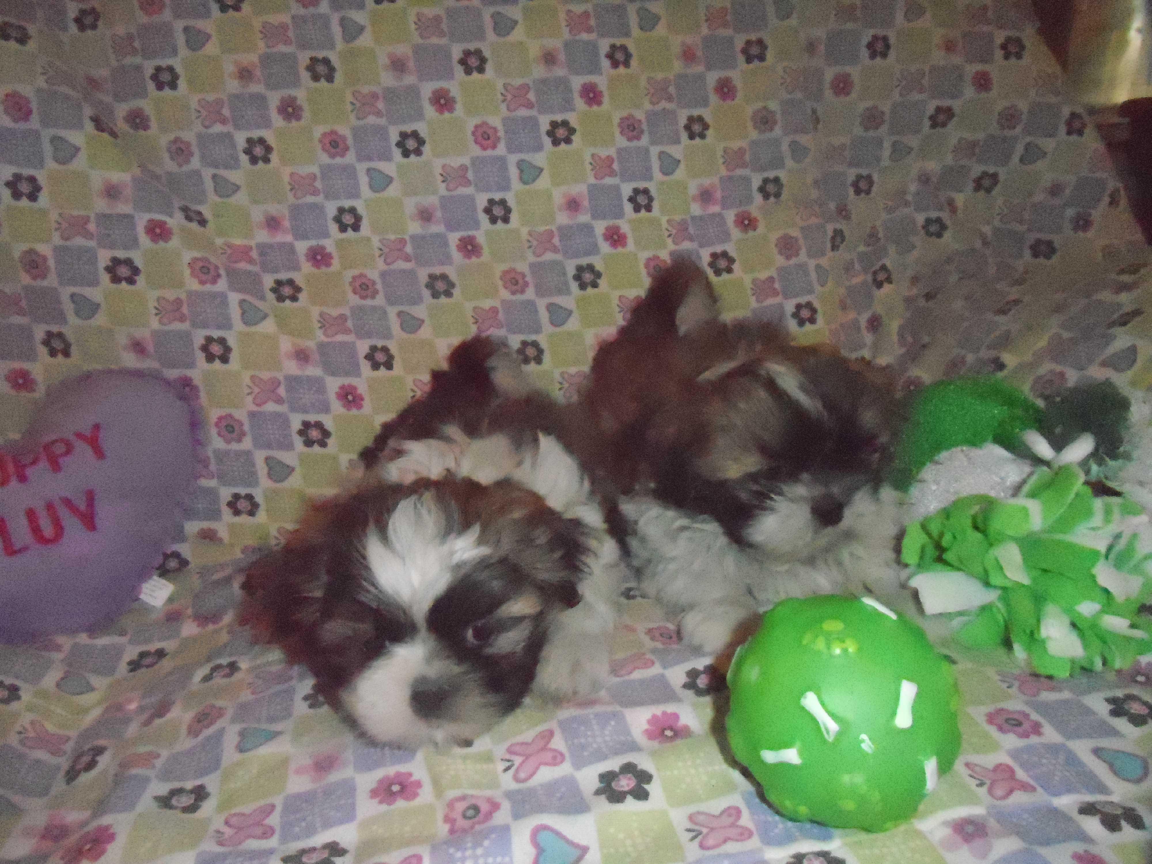 Riverside Ca Shih Tzu Meet 5 Darling Shih Tzu Puppies A Pet For Adoption