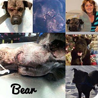 Labrador Retriever/Chow Chow Mix Dog for adoption in Northville, Michigan - Bear