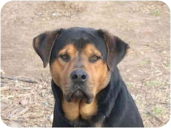 Drumright Ok Rottweiler Meet Urgent Solomon A Pet For Adoption