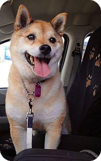 Chilliwack, BC - Shiba Inu  Meet Misha a Pet for Adoption