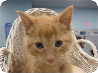 Domestic Shorthair Kitten for adoption in Sterling Hgts, Michigan - Casey