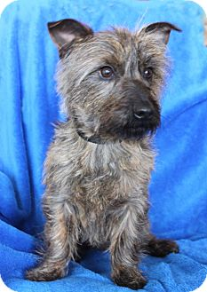 Wichita Ks Cairn Terrier Meet Toto A Pet For Adoption