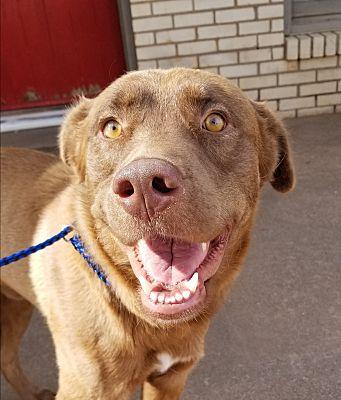 Lubbock Tx Labrador Retriever Meet Paddington A Pet For Adoption