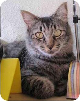 Domestic Mediumhair Cat for adoption in Davis, California - Matsu