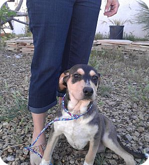 Rottweiler/Catahoula Leopard Dog Mix Puppy for adoption in Las Vegas, Nevada - C's Christy