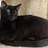Adopt A Pet :: Negrosito - Santa Fe, NM