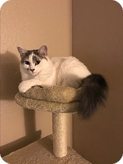 Domestic Longhair Cat for adoption in Modesto, California - Twiggy