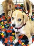 Australian Shepherd/Terrier (Unknown Type, Small) Mix Puppy for adoption in Simi Valley, California - Fresia