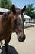 Adopt a Pet :: Topanga - Canyon Country, CA -  Quarterhorse Mix
