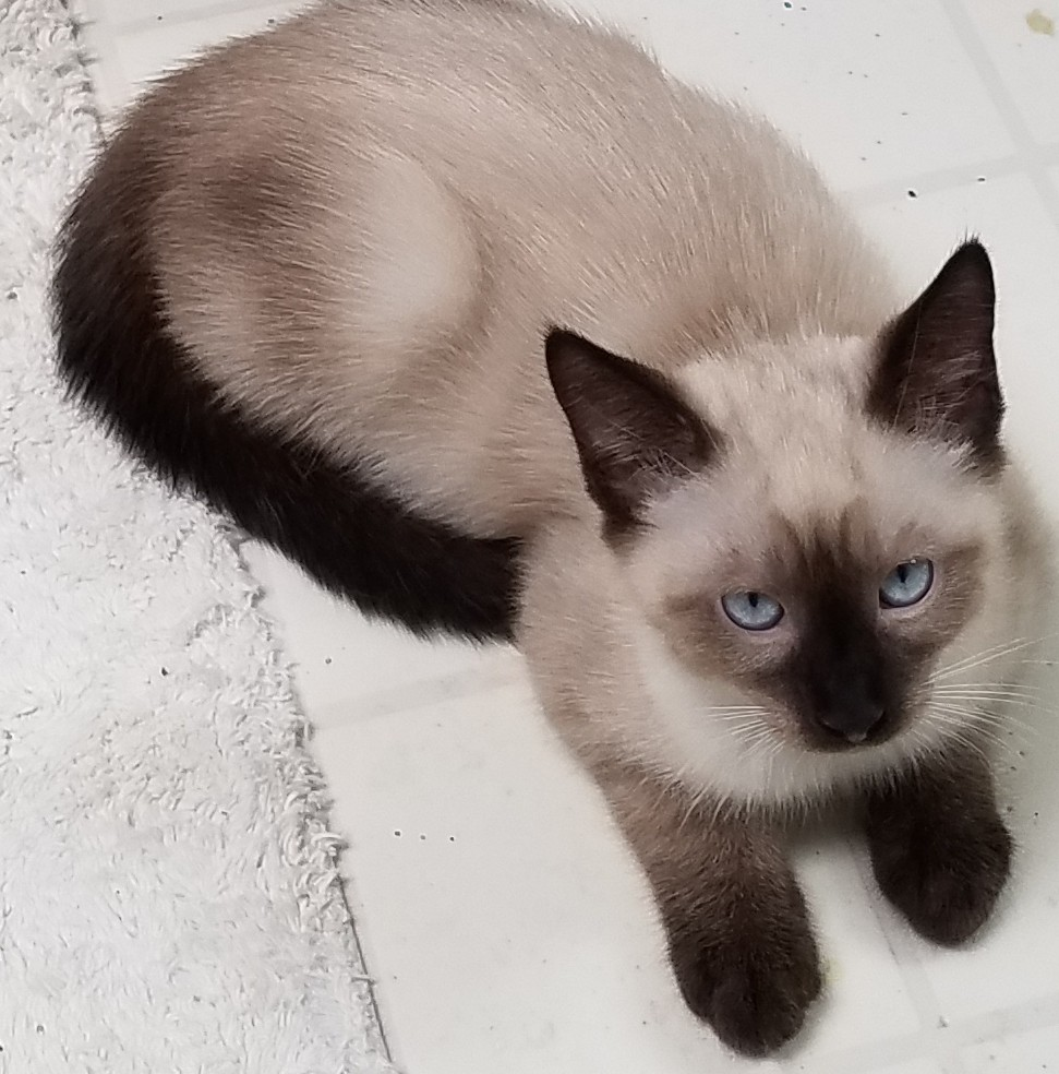 Jacksonville, FL - Siamese. Meet Jack a Cat for Adoption.
