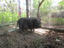 Adopt a Pet ::  - Ocala, FL -  Pig (Farm)