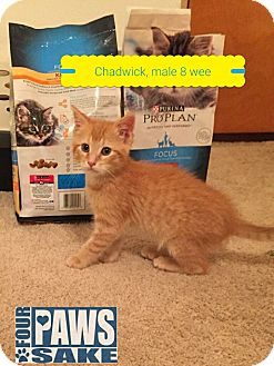 Domestic Shorthair Cat for adoption in Maryville, Illinois - Chadwick