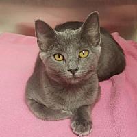 Domestic Mediumhair Kitten for adoption in Weatherford, Oklahoma - Jasmine