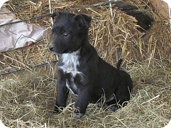 Australian Cattle Dog/Labrador Retriever Mix Puppy for adoption in Humboldt, Tennessee - BAILEY